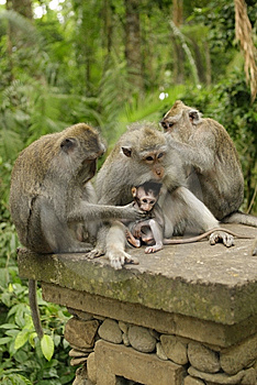 Family Of Monkeys Royalty Free Stock Photos - Image: 14639718
