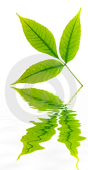 Green Leaf Of Tree. Royalty Free Stock Images - Image: 14640919