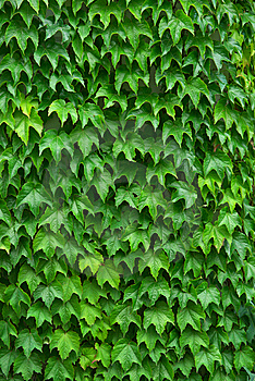Texture Of Leafs Royalty Free Stock Images - Image: 14641129