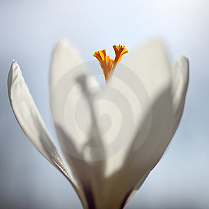 Crocus Royalty Free Stock Photography - Image: 14644017