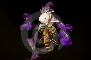 Spider Eating Bee Royalty Free Stock Photos - Image: 14645248