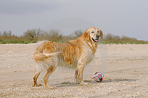 Golden Retriever Wants To Play With Ball Stock Images - Image: 14646694