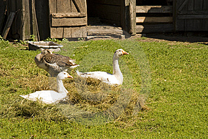 Geese On A Grass Royalty Free Stock Photos - Image: 14647158