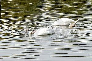 Feeding Swans Stock Photos - Image: 14647943