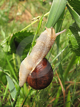 Snail Crawling On The Stalk Of Grass Stock Photos - Image: 14648063