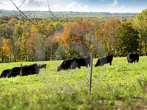 Black Cows Grazing In A Field Stock Photography - Image: 14649462