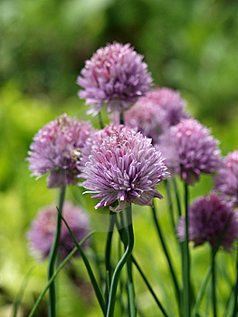 Onion Flower Stock Photo - Image: 14650110