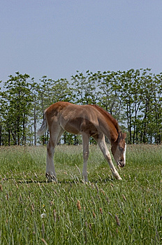 Foal Royalty Free Stock Photo - Image: 14651765