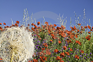 A Field Of Poppies Stock Images - Image: 14656484