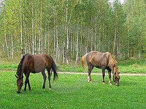 Horses Graze On Glade Stock Image - Image: 14657111