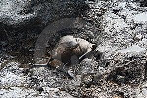 Baby Sea Lion Royalty Free Stock Photos - Image: 14658728
