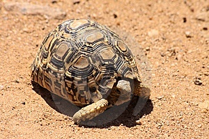 Leopard Tortoise Stock Image - Image: 14659181