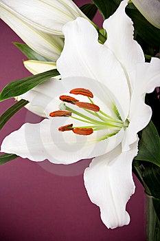 Lírio Branco Fotos de Stock Royalty Free - Imagem: 14659998