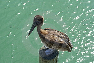 Pelican Standing On Piling Stock Photos - Image: 14662723