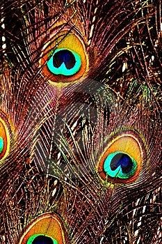 επενδύει με φτερά Peacock Στοκ Εικόνες - εικόνα: 14663024