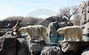 Polar Bear Parade Stock Photos - Image: 14664293