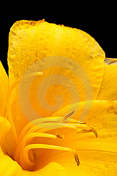 Macro Of  A Yellow Tulip On Black Stock Photography - Image: 14671042