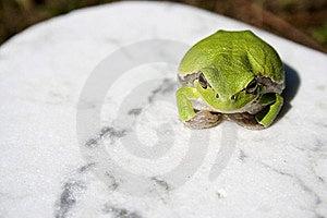 Treefrog Royalty Free Stock Images - Image: 14674089