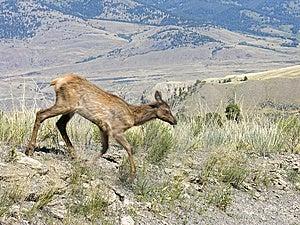 Fauna Enmascarada De Yellowstone En El Movimiento Imágenes de archivo libres de regalías - Imagen: 14674399