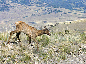 Fauna Zamazany Ruch Yellowstone Obrazy Royalty Free - Obraz: 14674399