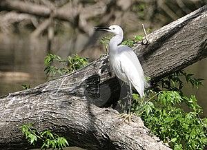 White Egret Stock Images - Image: 14674814