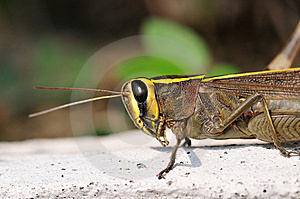 Common Locust Royalty Free Stock Image - Image: 14674936