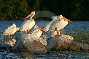 Pelicans On Rocks In The Reeds Royalty Free Stock Images - Image: 14676399