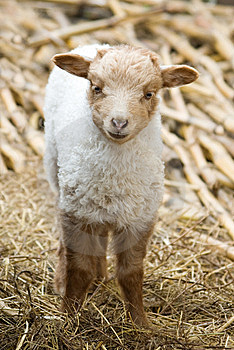 Lamb Royalty Free Stock Photo - Image: 14677255