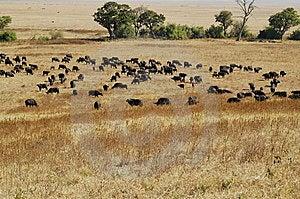 Herd Of Wildebeest Stock Photos - Image: 14677583