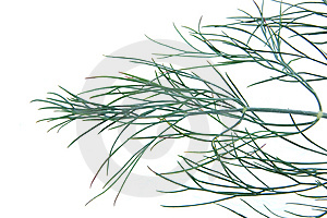 Dill Royalty Free Stock Images - Image: 14680769