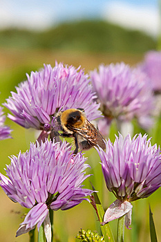 Bumblebee On A Purple Flower 1 Royalty Free Stock Image - Image: 14686096
