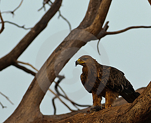 Tawny Eagle With Prey Royalty Free Stock Photography - Image: 14688437