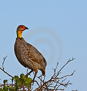 Yellow Necked Spur Fowl Royalty Free Stock Images - Image: 14688519