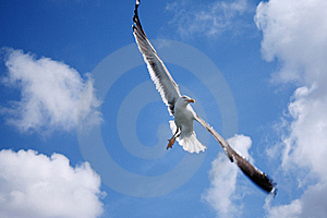 A Flying Seagull Royalty Free Stock Photo - Image: 14690205