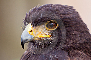 Young Juvenile Eagle In Closeup Stock Images - Image: 14691314