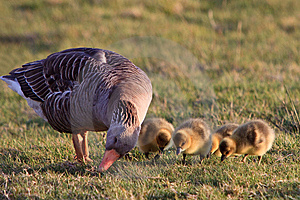 White-fronted Goose With Youngsters Royalty Free Stock Images - Image: 14691949