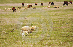 Sheep With Yeanling Stock Photo - Image: 14693190
