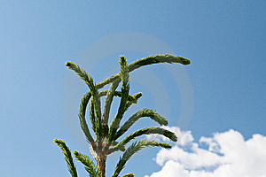 Fur-tree Top Stock Images - Image: 14693424