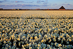 Large Narcissus Field In Spring Stock Photo - Image: 14693430