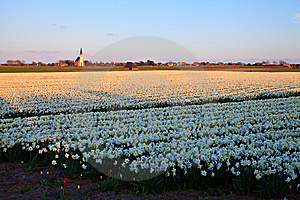 Large Narcissus Field In Spring Stock Image - Image: 14693481