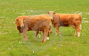 Irish Cows Royalty Free Stock Images - Image: 14693659