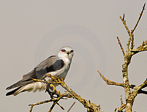 Black-shouldered Kite Stock Photo - Image: 14695490