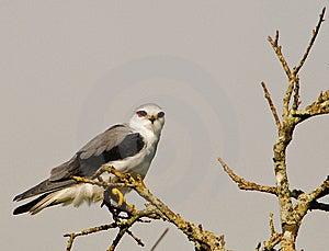 Black-shouldered Kite Stock Photo - Image: 14695490