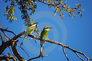 Swallow-Tailed Bee-Eater (Merops Hirundineus) Stock Photos - Image: 14696533