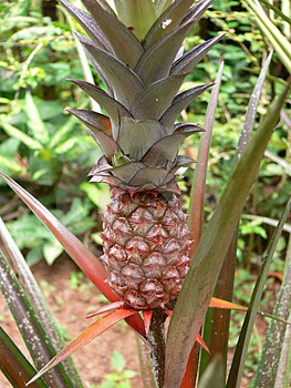 Fruit Tropical Photographie stock libre de droits - Image: 1473987