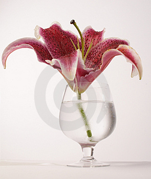 Lily Stock Photos