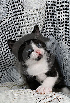 Black & White Tuxedo Kitten Royalty Free Stock Photo - Image: 14700765