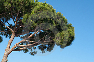 Pine Tree Over Blue Sky Stock Photography - Image: 14701082