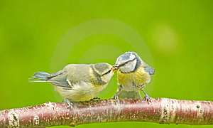 Blue Tit Parent Feeding Fledgling. Royalty Free Stock Photography - Image: 14701777