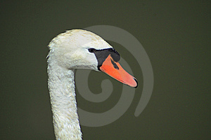 Swan Head Royalty Free Stock Photo - Image: 14702665